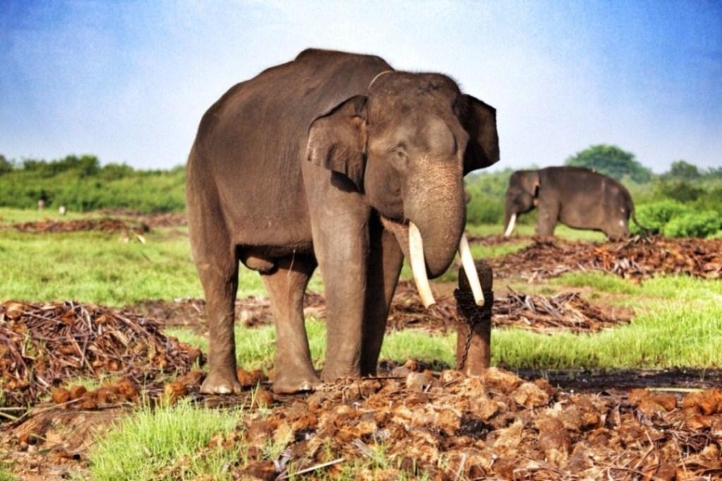 Gajah s