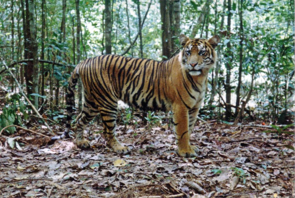 Harimau s