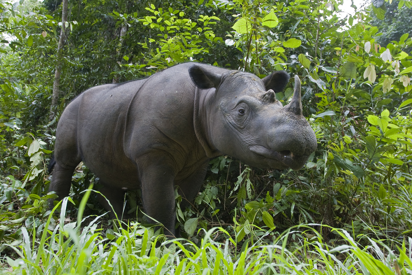 Sumatran Rhinoceros Dicerorhinus sumatrensis Sumatran Rhino Sanctuary, Way Kambas National Park, Indonesia *Critically Endangered *Captive