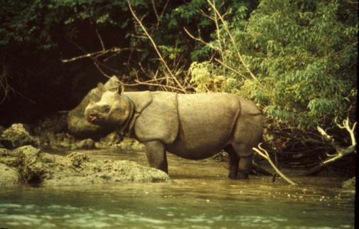 Rhino (Javan Rhino) - 10 - Ujung Kulon