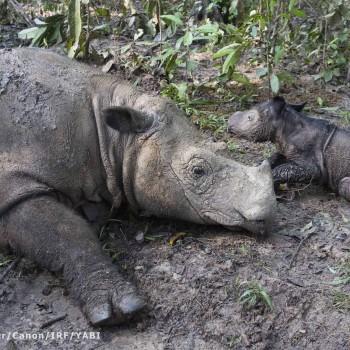 PHOTO 2 Ratu+calf resting_SBelcher_watermarked medium res-2