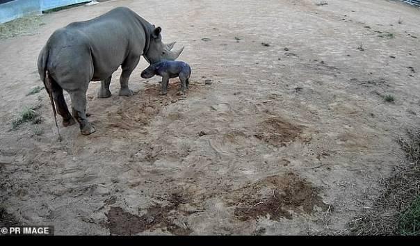Foto menampilkan anak badak lain yang juga lahir di Taronga Zoo Dubbo, Australia tahun 2017. Kebun Binatang Taronga Western Plains di Dubbo pada Senin (01/03/2021) mengungkapkan bayi badak berjenis kelamin betina itu lahir dengan selamat, dan akan menghabiskan beberapa bulan ke depan bersama sang induk sebelum ditampilkan ke hadapan publik (Sumber: Taronga Zoo)